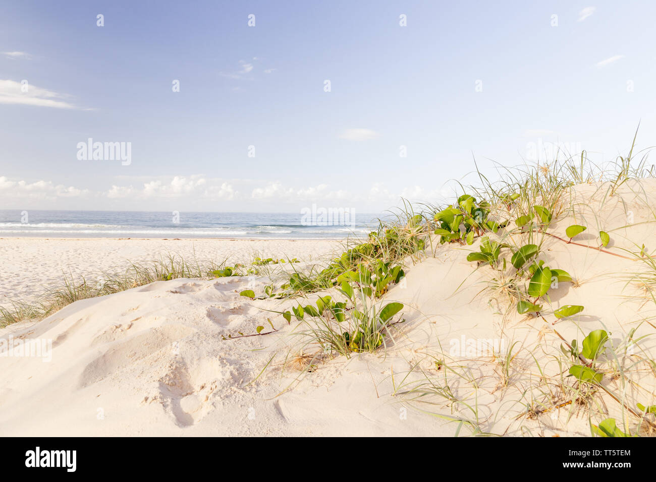 Sand dune with creeping railroad vine and ocean and blue sky in the background Stock Photo