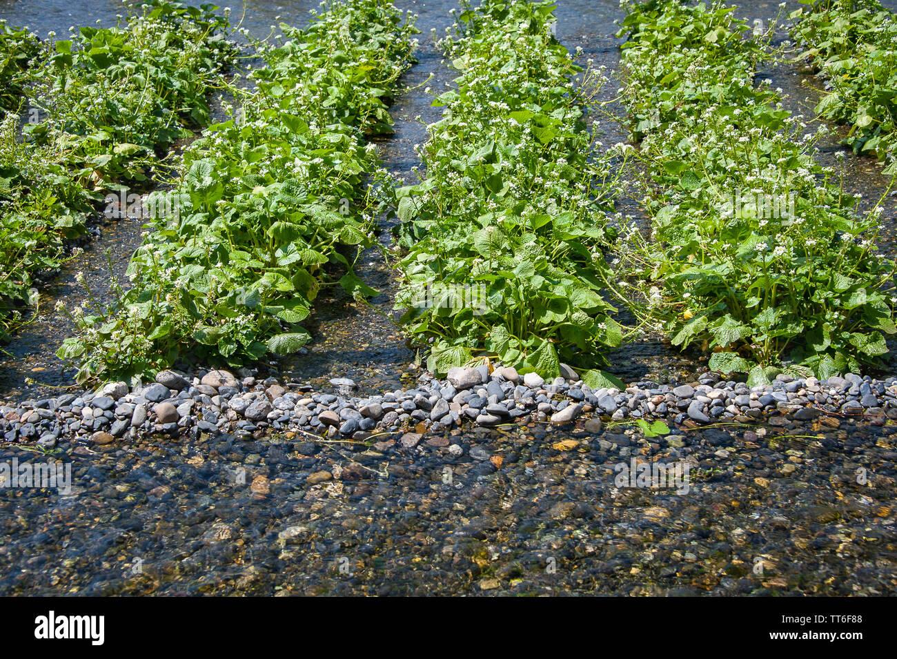 Fresh green Wasabi (Japanese Horseradish) plants growing in clear mountain river water. Stock Photo