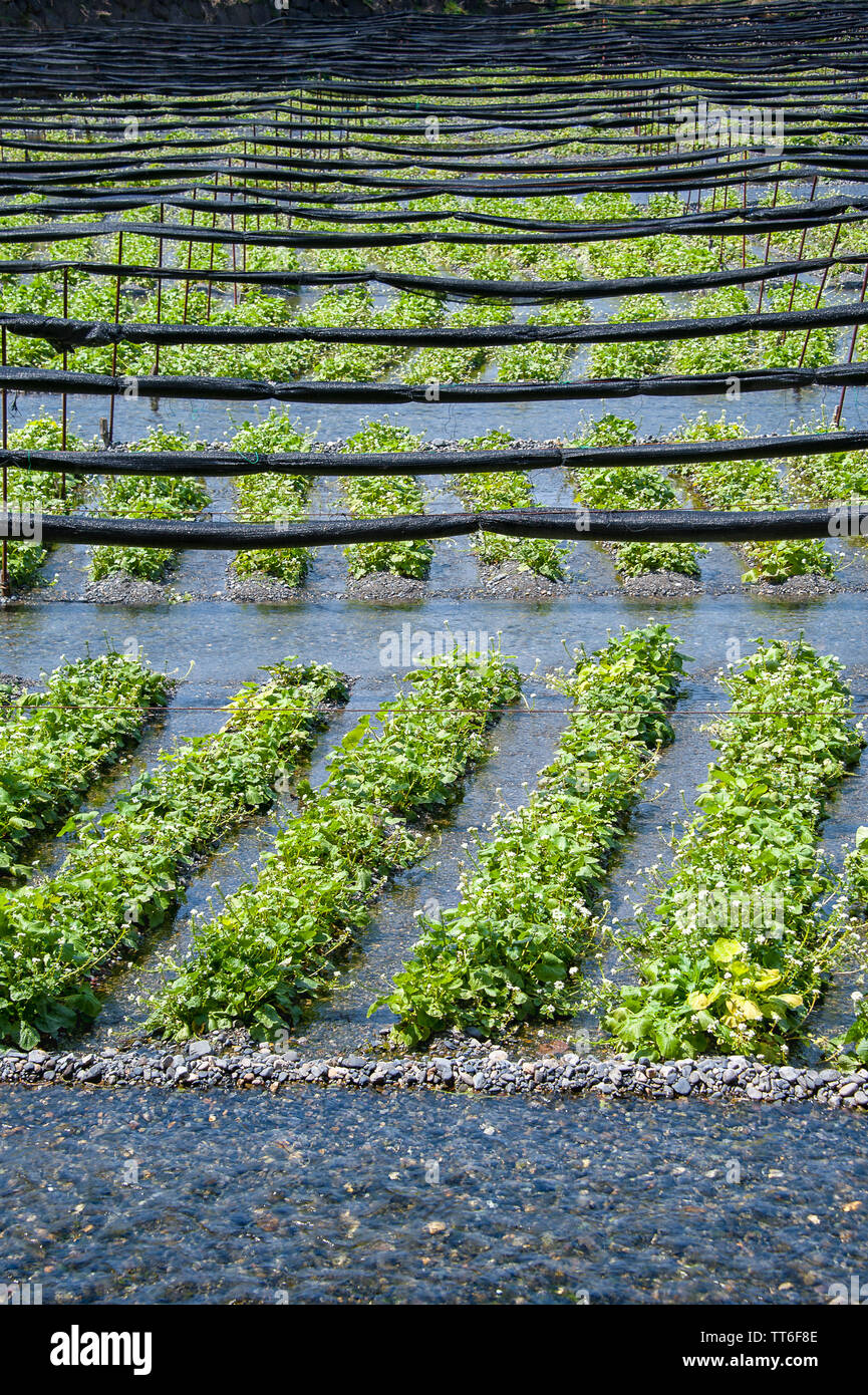 Fresh green Wasabi (Japanese Horseradish) plants growing in clear mountain river water with rows of rolled shadecloth running across the top Stock Photo