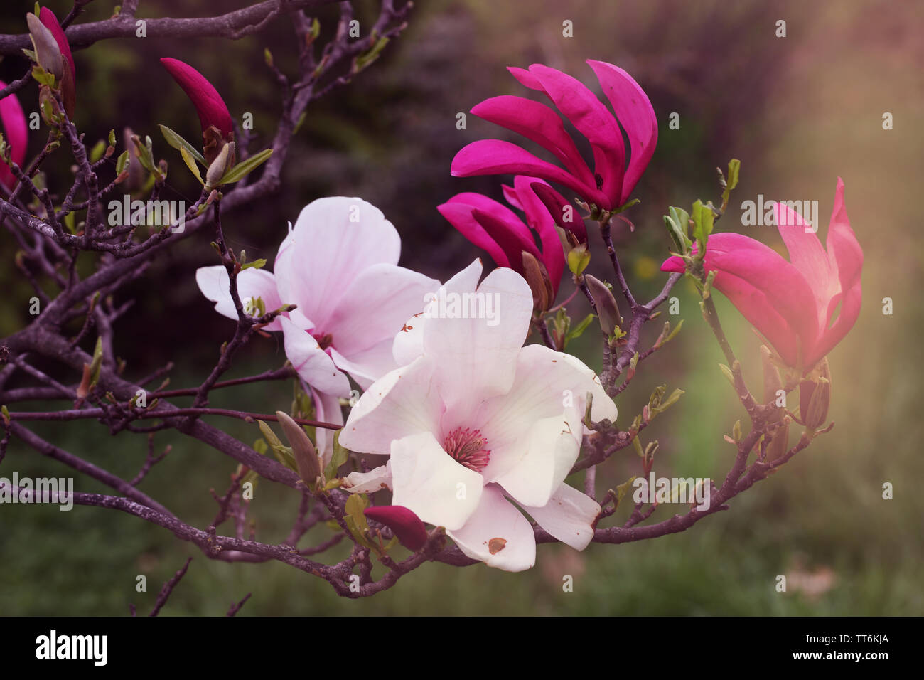 Blooming magnolia sulanzha in spring park Stock Photo
