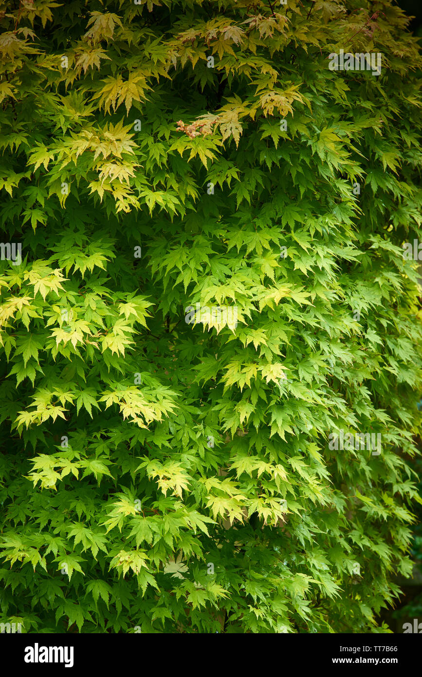 Green Leaves On A Deciduous Japanese Maple Tree In An English