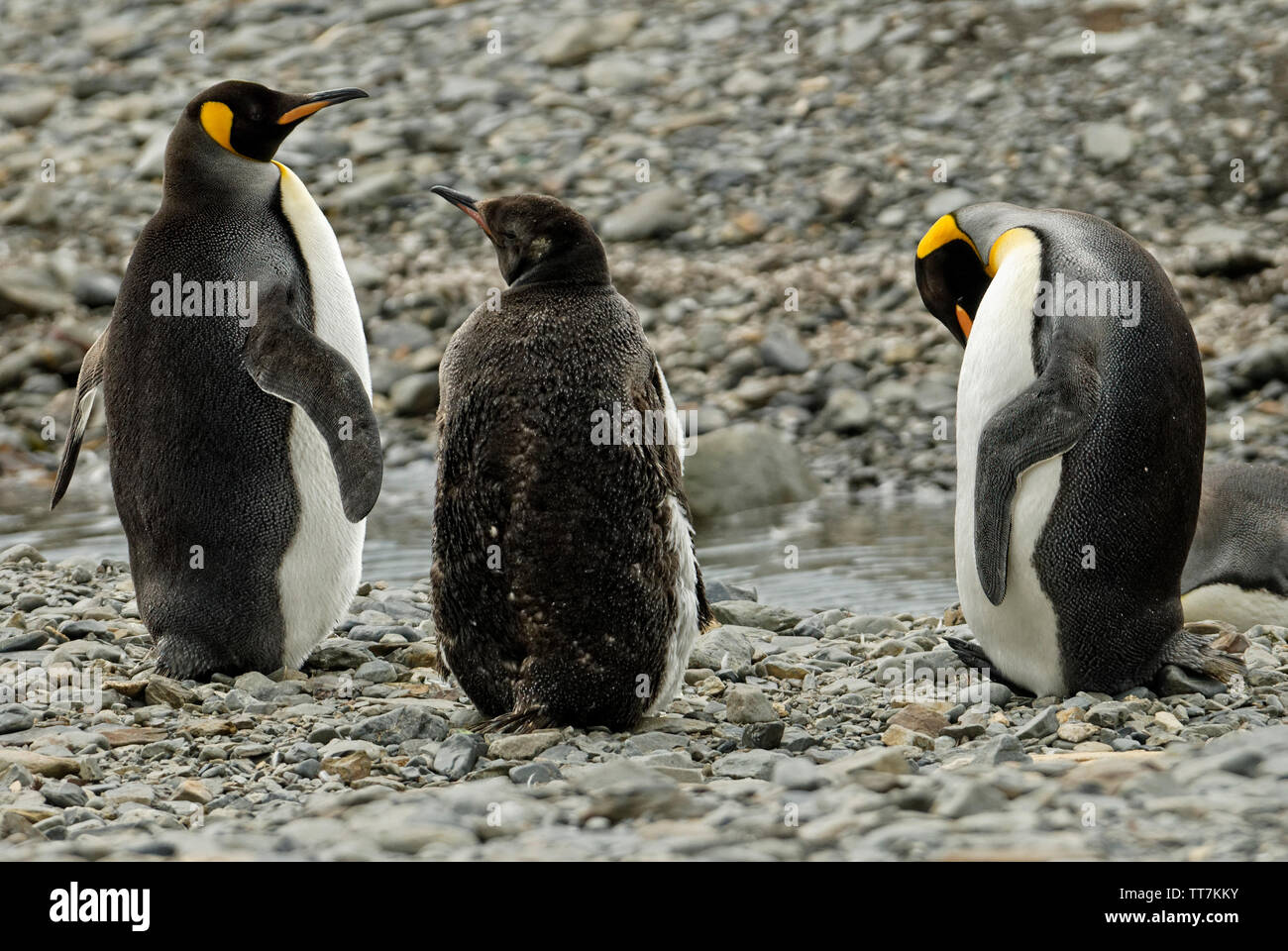 Family group of king penguins on a beach on South Georgia, Antartica - Stock Image