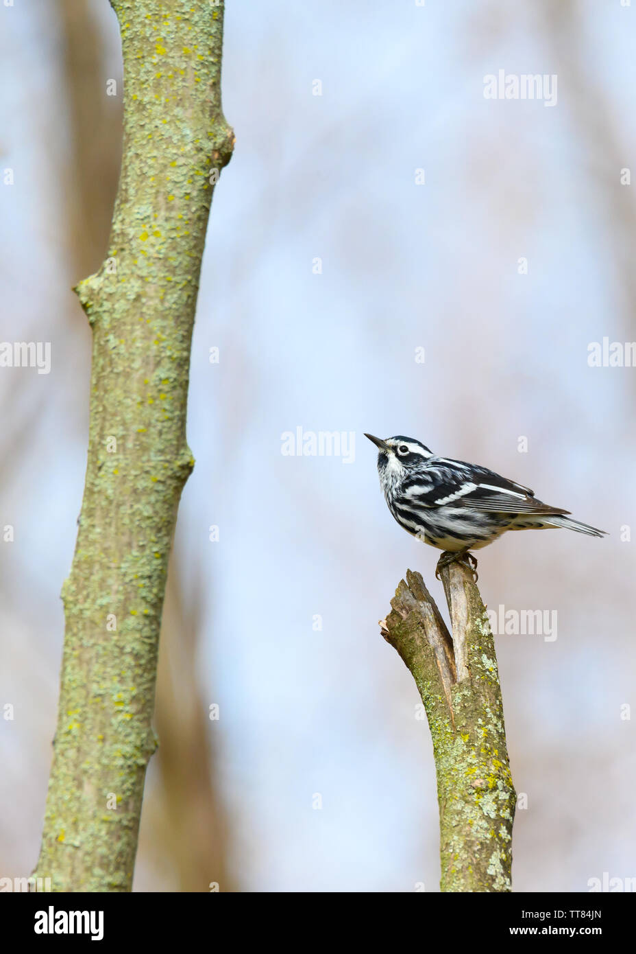 A migrating Black-and-White Warbler perches on a lichen-covered stump at Colonel Samuel Smith Park in Toronto, Ontario. Stock Photo