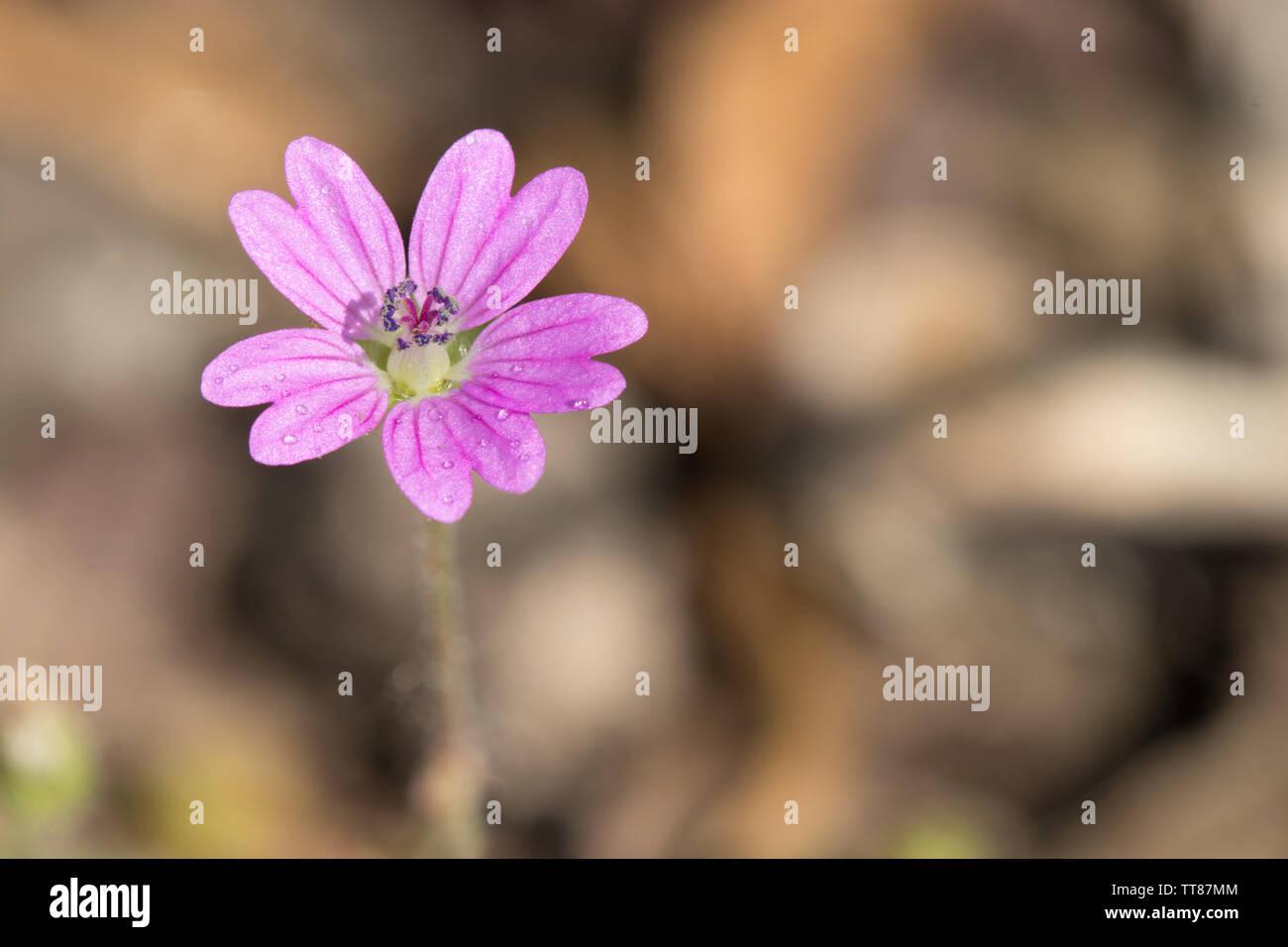 Geranium molle. Macro shot of a single flower n the sunlight. Frankfurt, Germany. - Stock Image