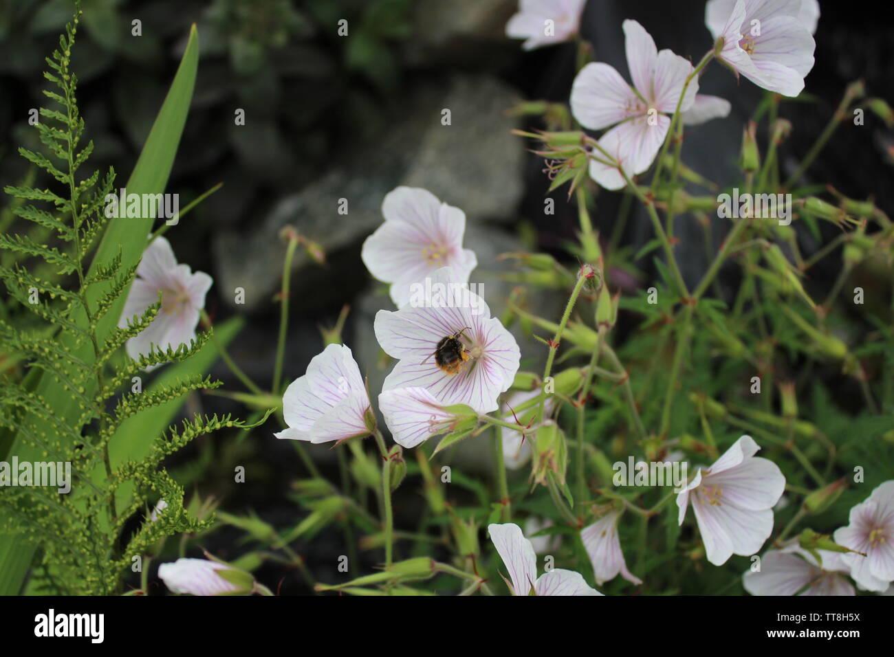 Bee on Kashmiri White Geranium - Stock Image