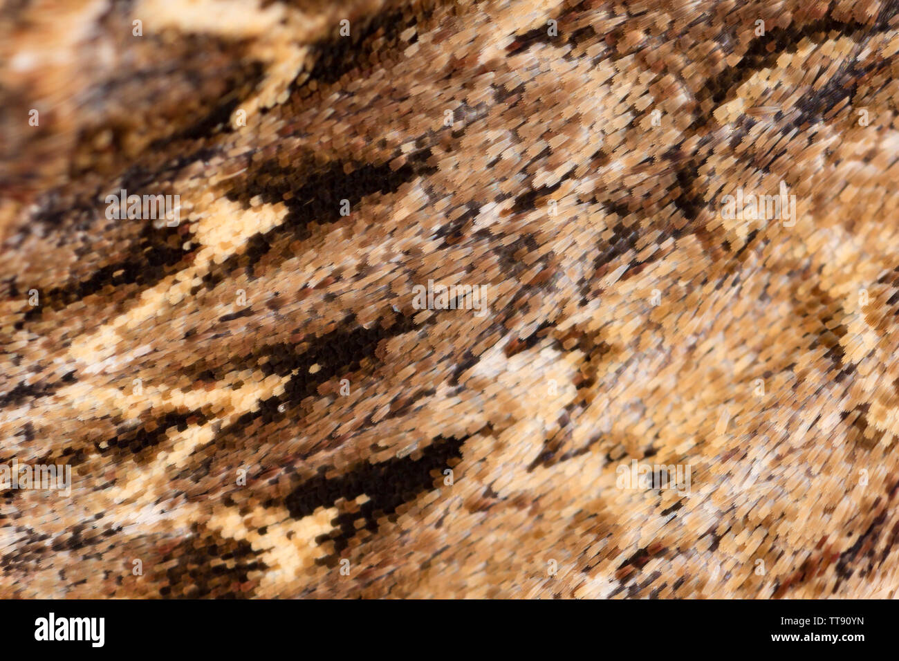 A close-up macro shot of the scales on the wings of a Dark Arches moth, Apamea monoglypha. The moth was attracted to house lights and its patterning o - Stock Image
