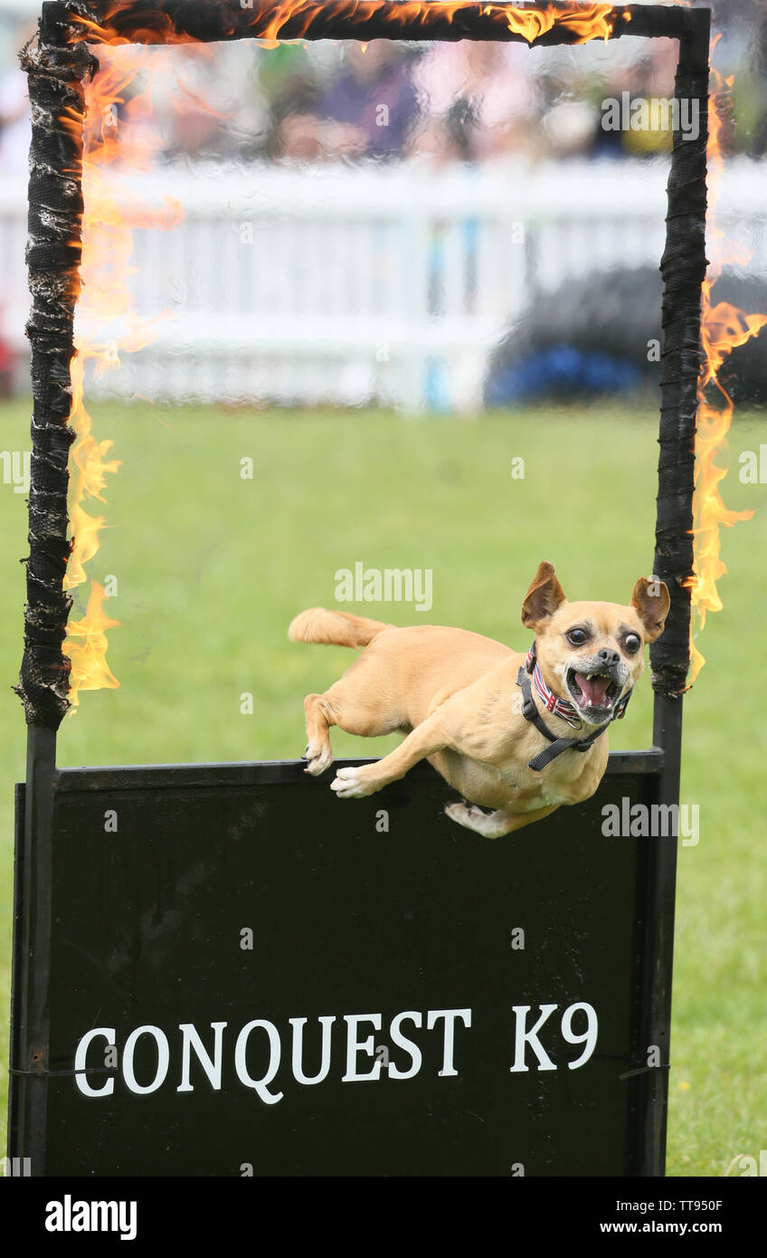 Knutsford, Cheshire, UK. 15th June, 2019. Dog Fest, the festival for dogs, their families and animal lovers.  The festival is taking place in the grounds of Tatton Park, a Cheshire Stately Home.  The event includes lots of dog displays with plenty for the pet dogs to try. Tatton Park, Knutsford, Cheshire.  Credit: Barbara Cook/Alamy Live News Credit: Barbara Cook/Alamy Live News - Stock Image