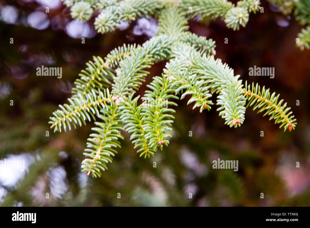 branch of spanish fir with radial leafs, ronda, andalusia - Stock Image
