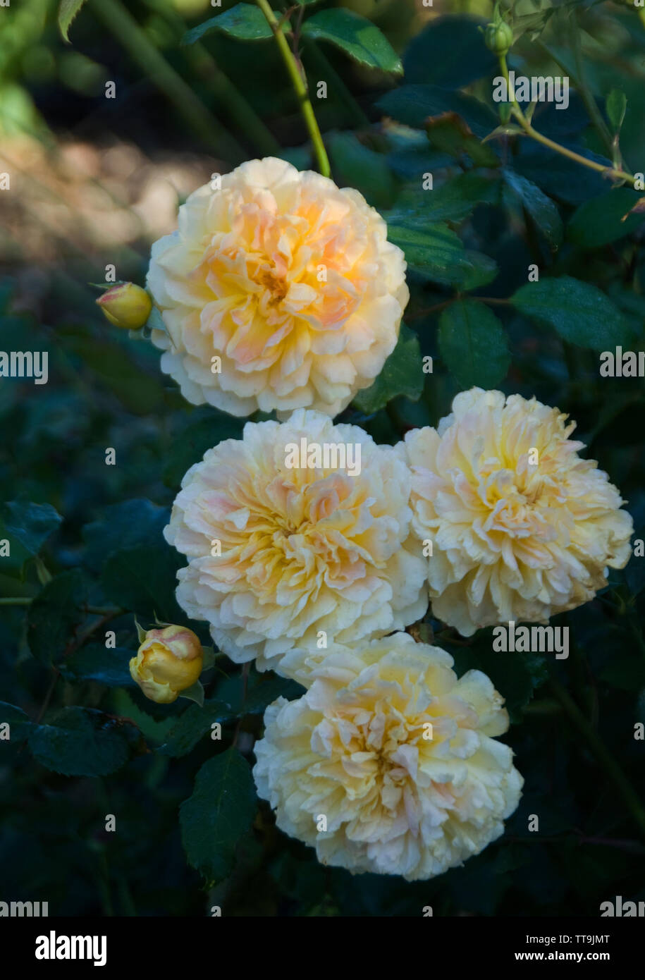 Rosa 'Malvern Hills'.A repeat-flowering rambler, bearing fully double, soft yellow blooms, which are held in medium to large clusters. There is a ligh - Stock Image
