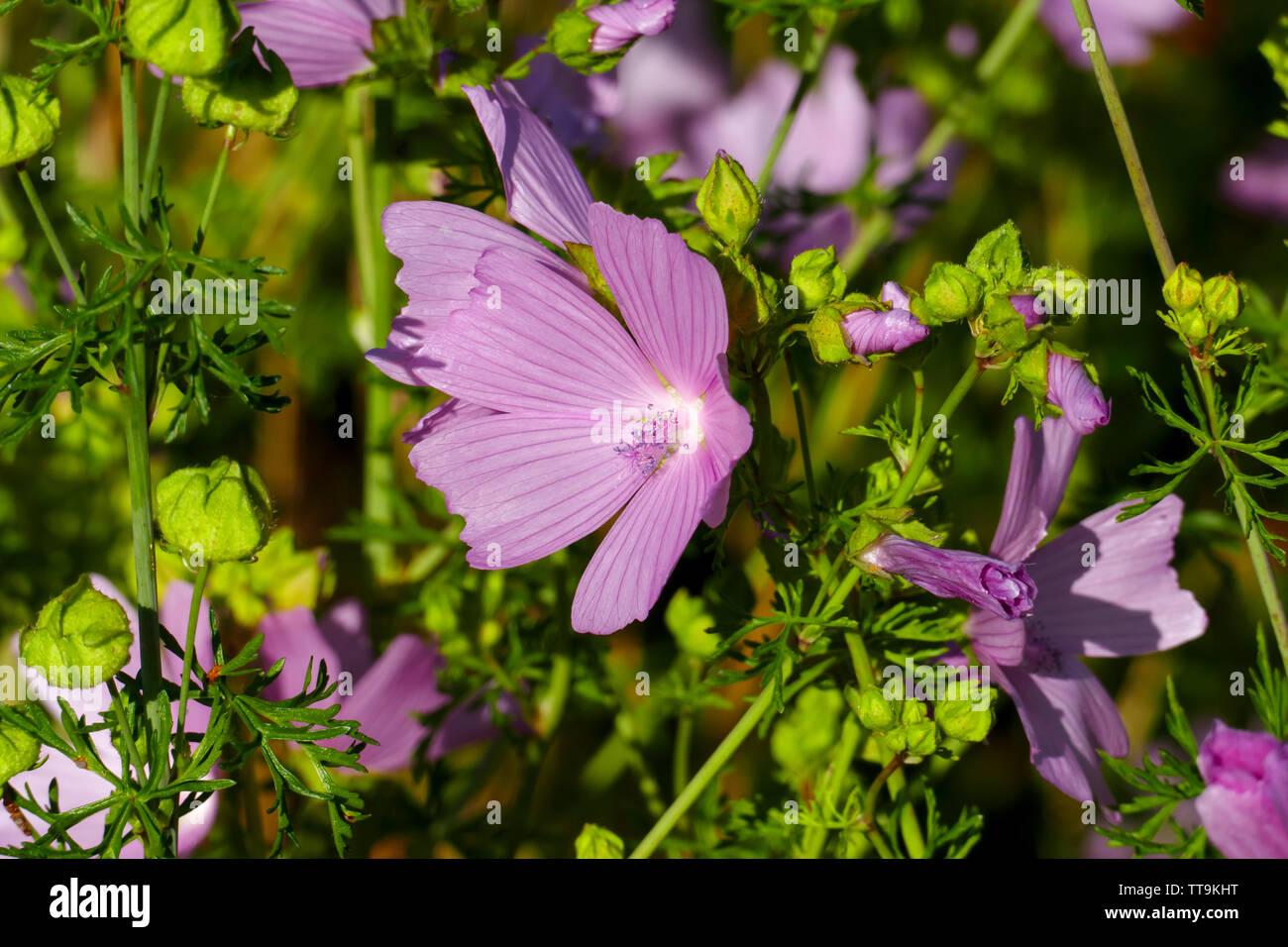 Moschus Malve, blüht in der Natur, auf einer Wiese im Sommer Stock Photo