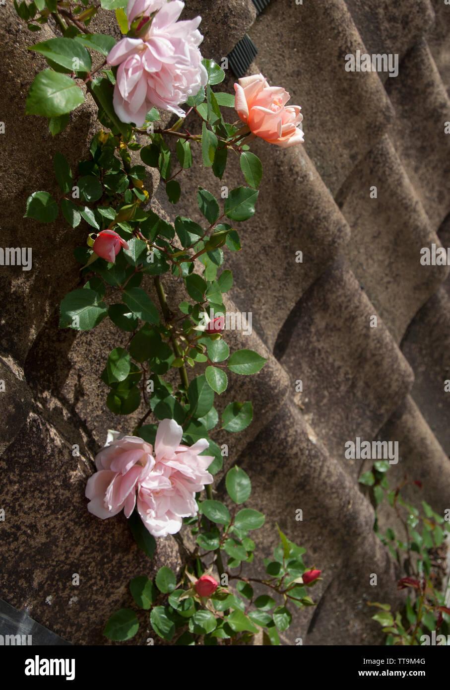 Rosa 'New Dawn' on pantiles - Stock Image