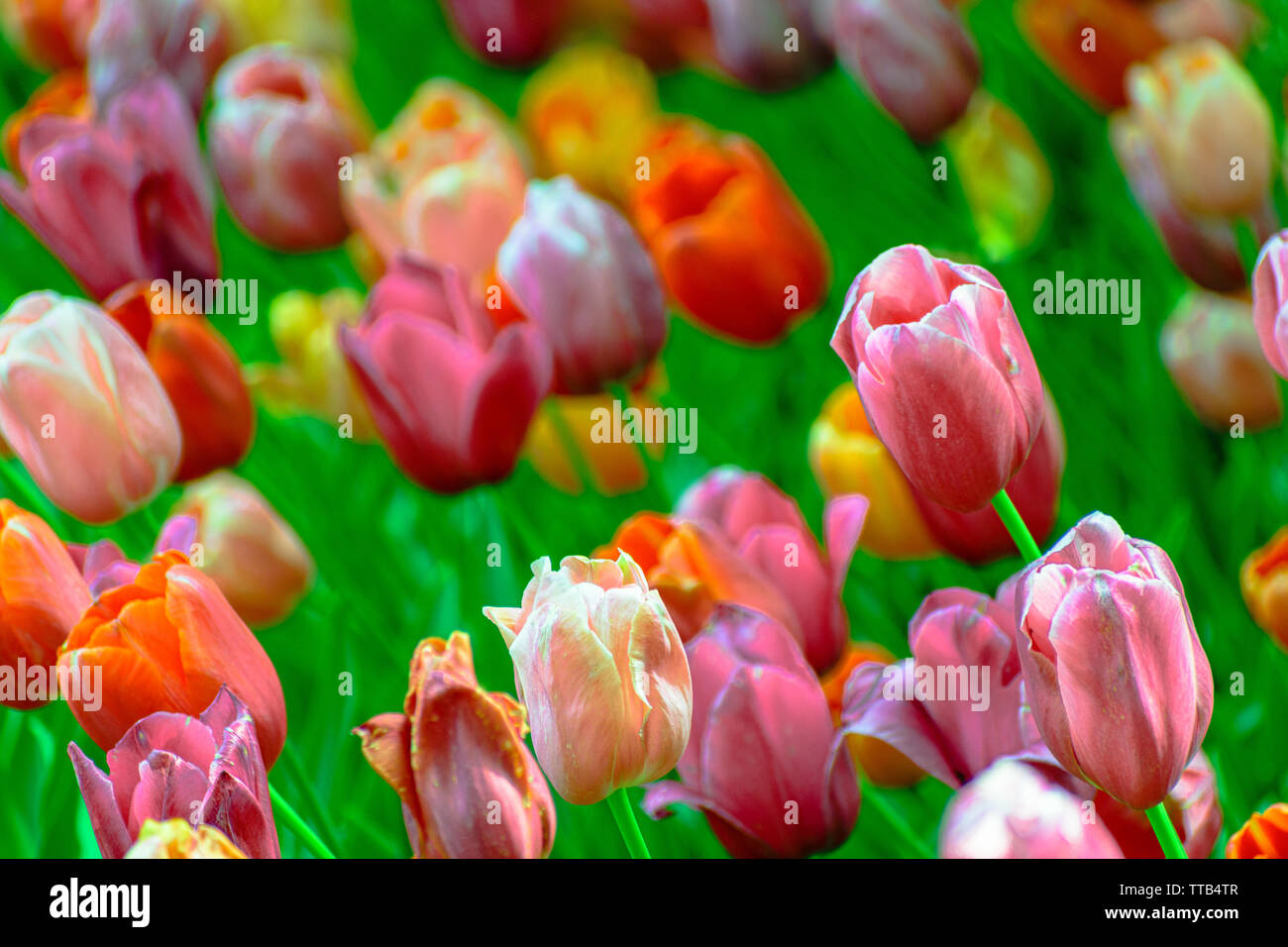 Multi-colored tulips leaning to the left, predominantly pink, red, and orange hues. - Stock Image