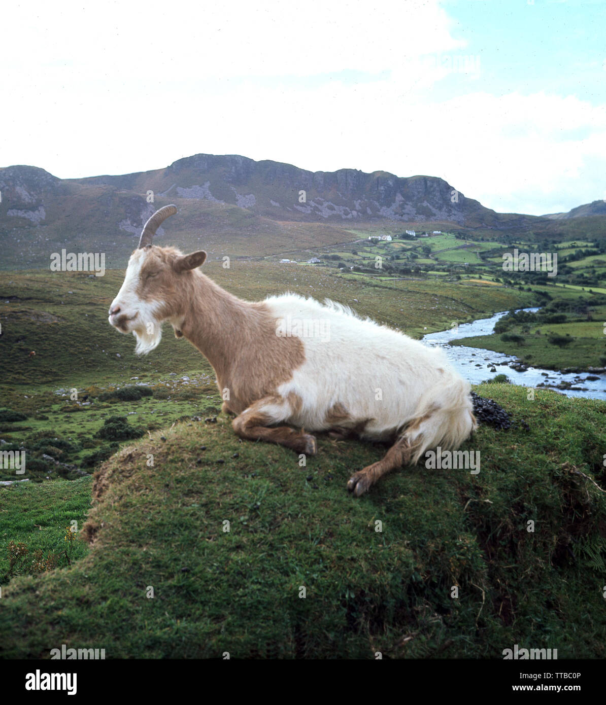 1960s, historical, a feral Irish goat with a lght brown and white coat sitting on a grass covered hump or rock in the green countryside in rural Kerry, Ireland. - Stock Image