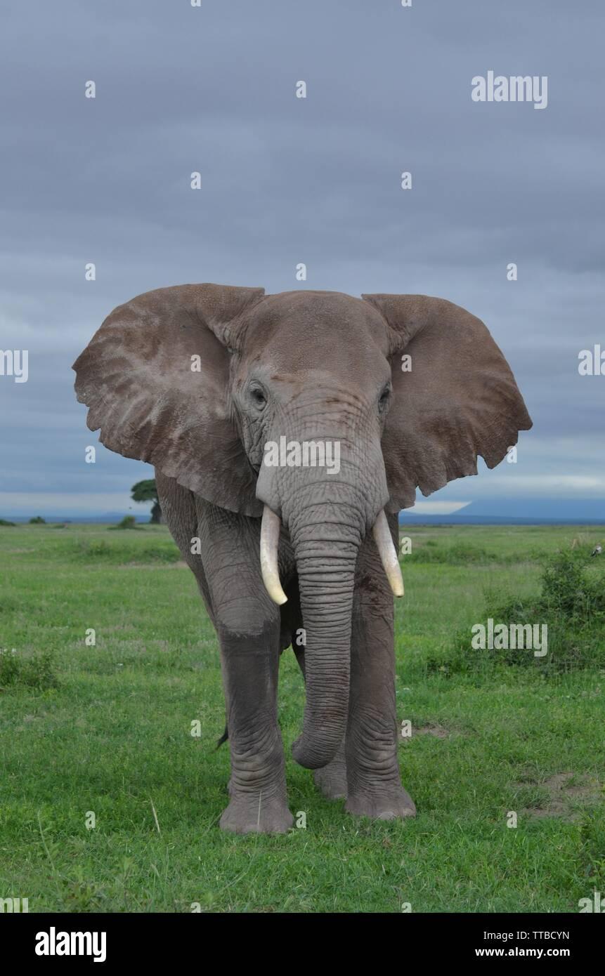 Male elephant in Amboseli national park - Stock Image