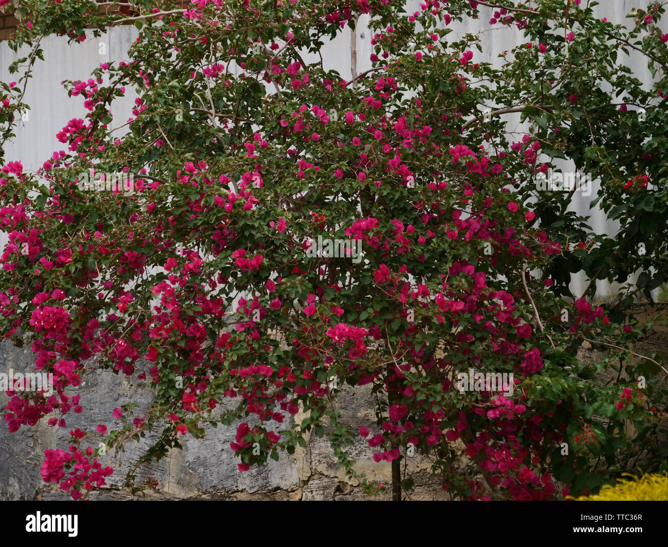 Bougainvillea is a tropical and subtropical garden shrub or houseplant with beautiful flowers flowering over a long period of the season. - Stock Image