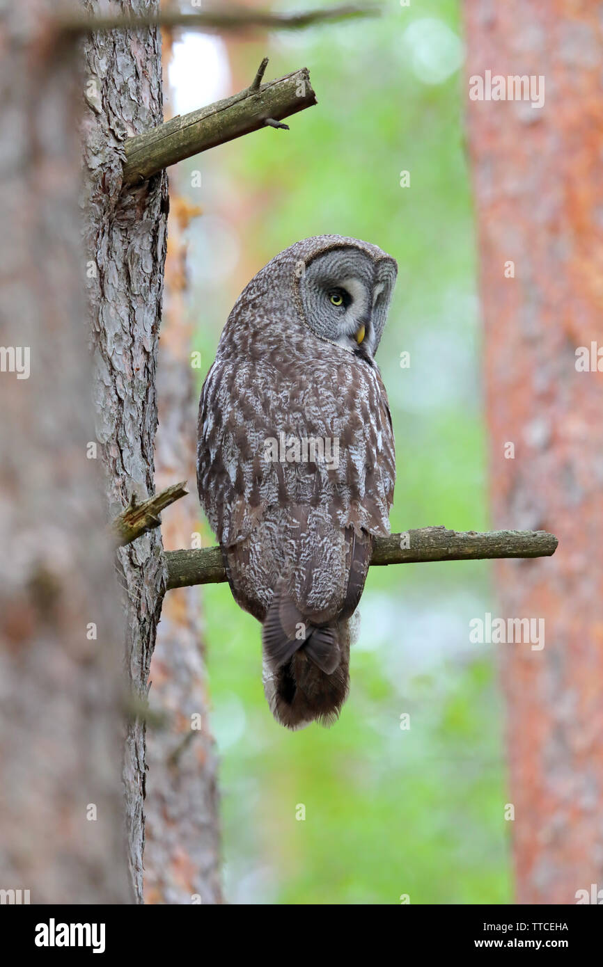 A beautiful adult female Great Gray Owl (Strix nebulosa) in the Bialowieza forest of Belarus in spring - Stock Image