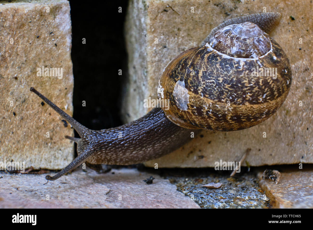 Close up photo of a common garden snail crawling on a stone brick Stock Photo