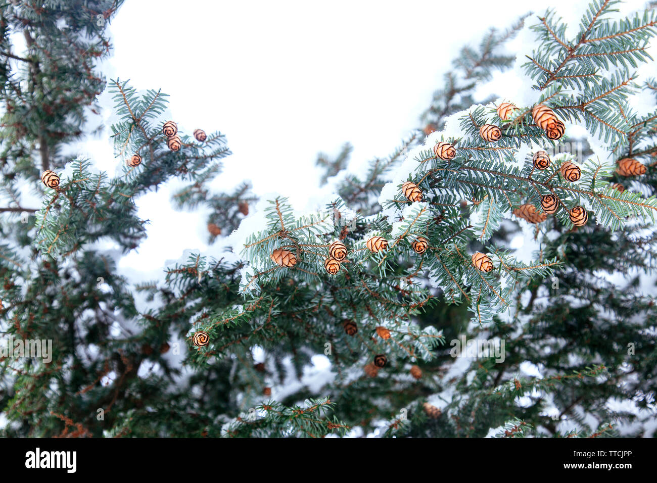 Small cones on the branches of the needles are covered with white snow. Pine with snow decoration for winter season. Stock Photo