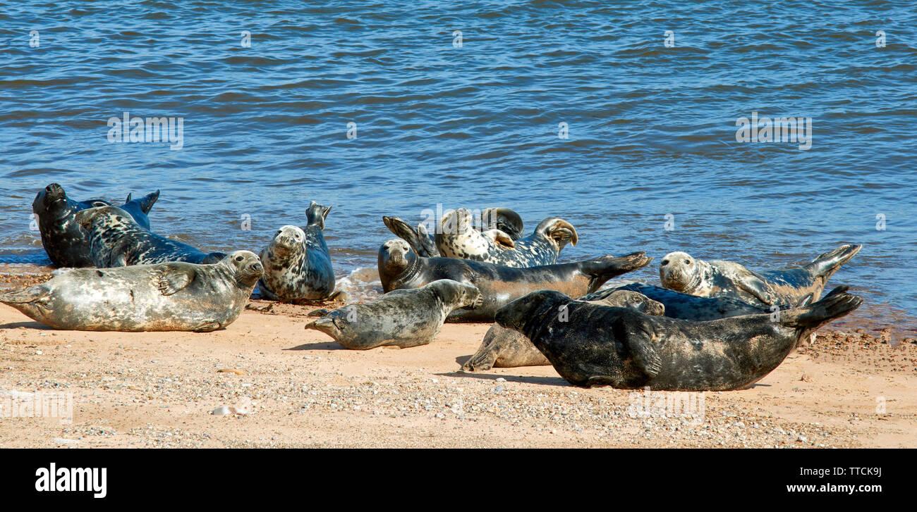 PORTGORDON BEACH MORAY SCOTLAND COMMON SEALS LYING ON THE SAND AND SUNBATHING - Stock Image