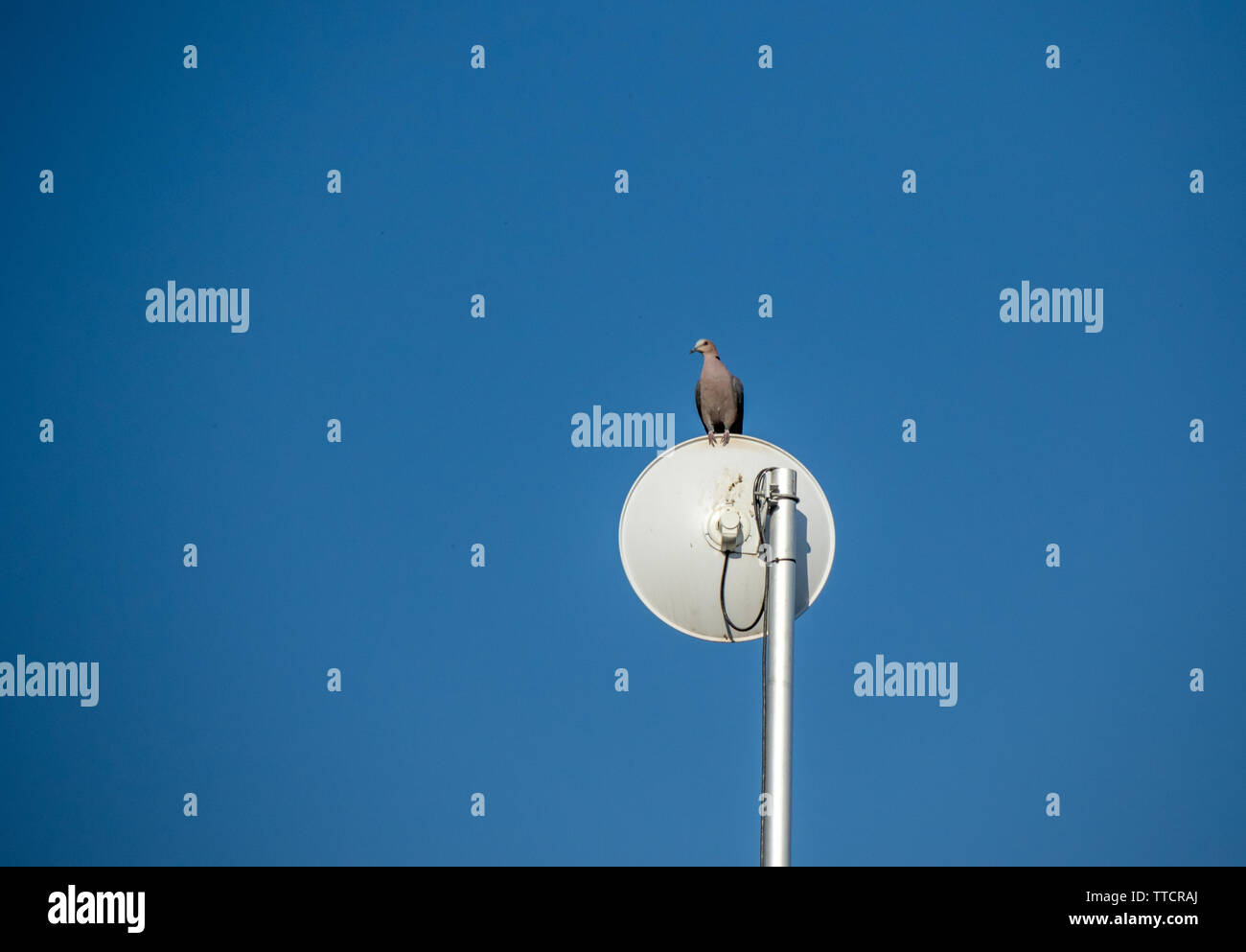 A dove perched on a satellite dish isolated against a clear blue sky image with copy space in landscape format - Stock Image