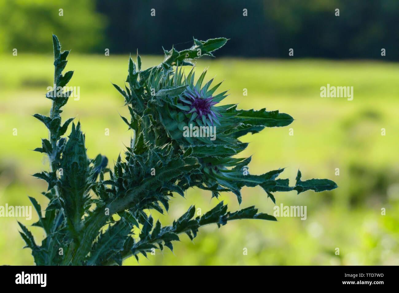 Mariendistel, Christi Krone, lila Blüte auf einer Wiese - Stock Image