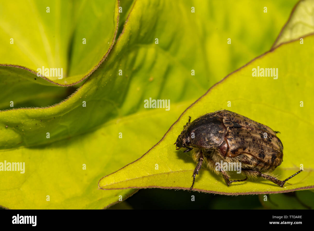 Bumble Flower Beetle (Euphoria inda) - Stock Image