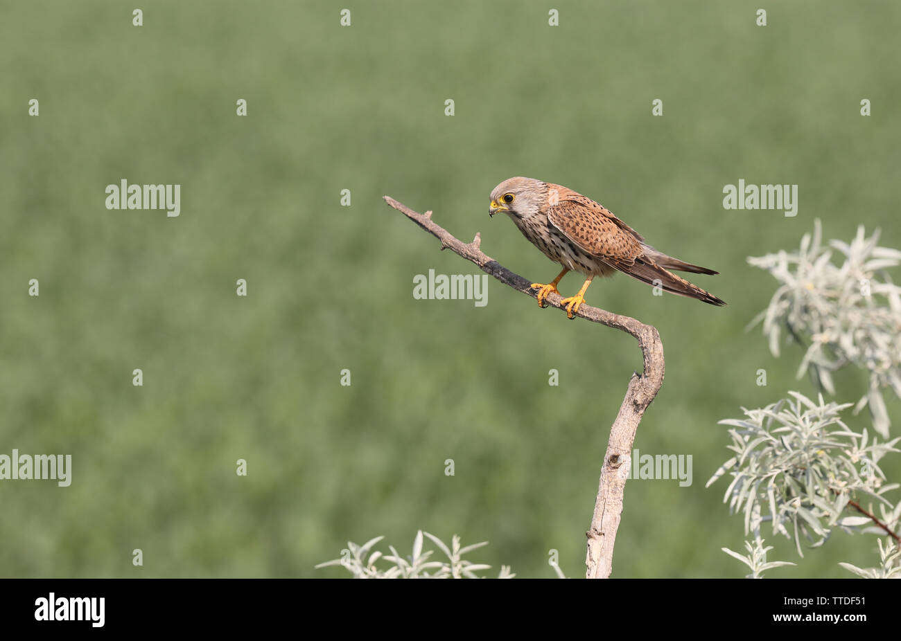 Common Kestrel (Falco tinnunculus
