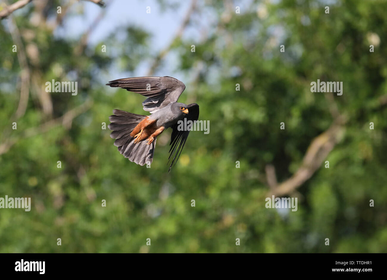 Male Red-footed falcon (Falco vespertinus) in flight. The species is listed as Near Threatened on the IUCN Red List. Photographed in Hortobagy, HU - Stock Image