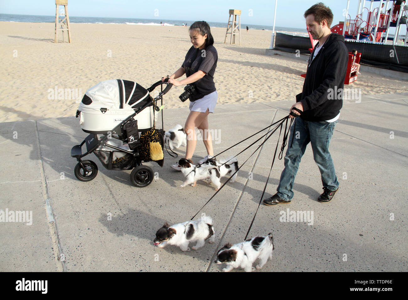 Family walking many Japanese Chin dogs on the boardwalk of Ocean City, MD, USA - Stock Image