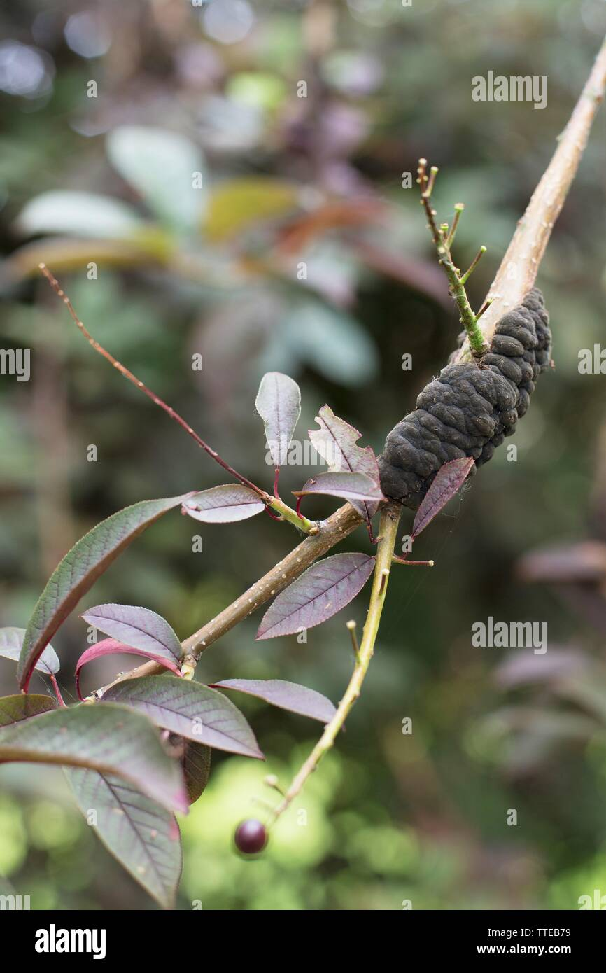 Black knot fungal disease on a tree. - Stock Image