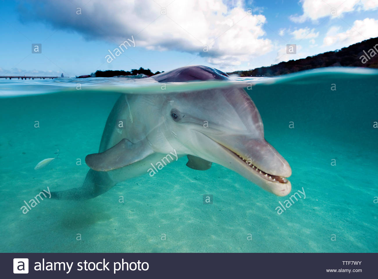 Bottlenose dolphin (Tursiops truncatus), split level, over under water, Roatan island, Bay islands, Honduras - Stock Image