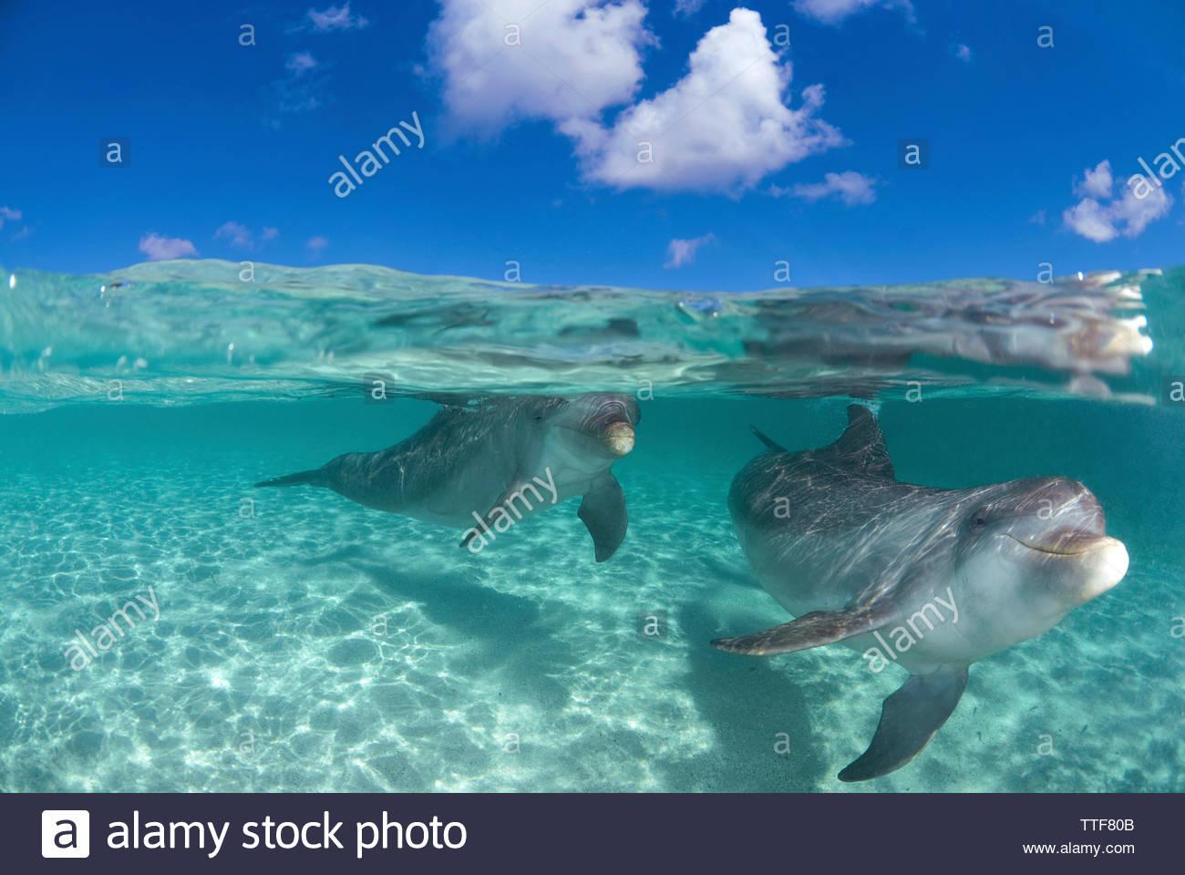 Bottlenose dolphins (Tursiops truncatus), pair, split level, over under water, Roatan island, Bay islands, Honduras - Stock Image