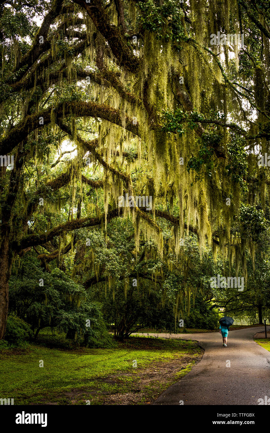 Walkway with Spanish Moss hanging from Live Oak Stock Photo