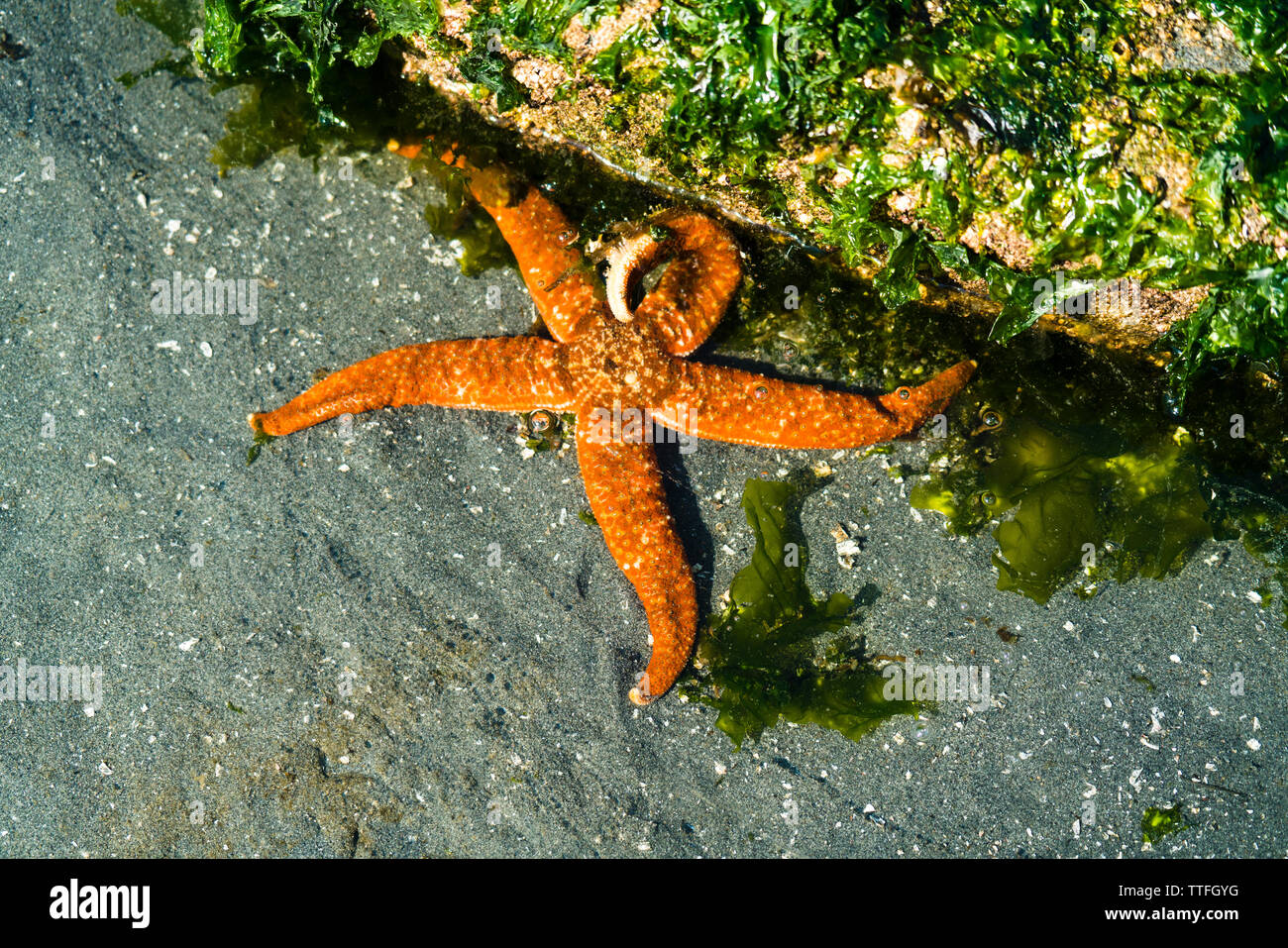 View from above of an orange sea star in a tide pool - Stock Image