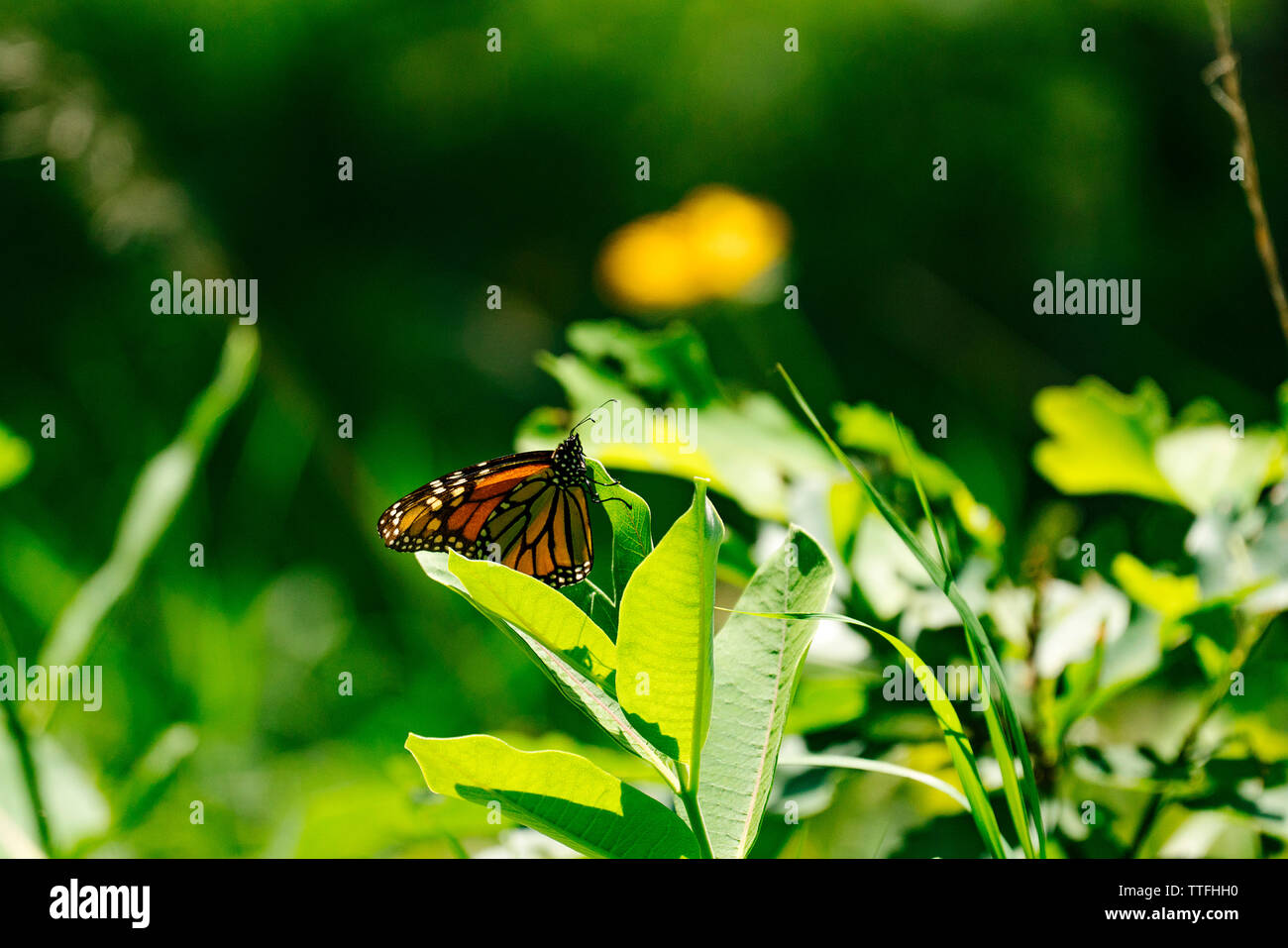 Side view of a Monarch Butterfly on a milkweed leaf in a field - Stock Image