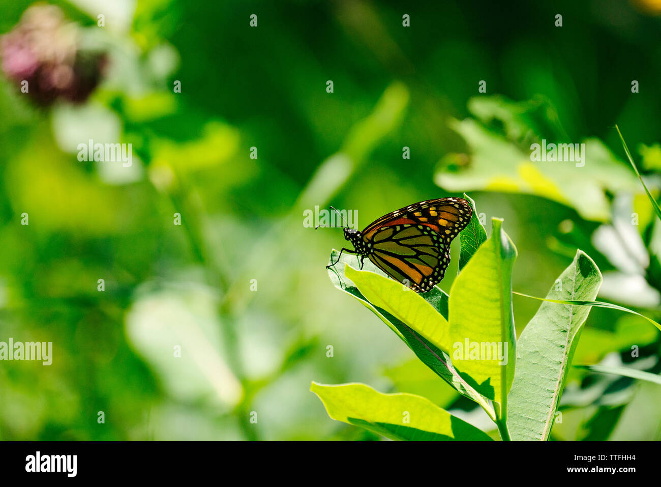 Closeup view of a Monarch Butterfly on a milkweed leaf - Stock Image