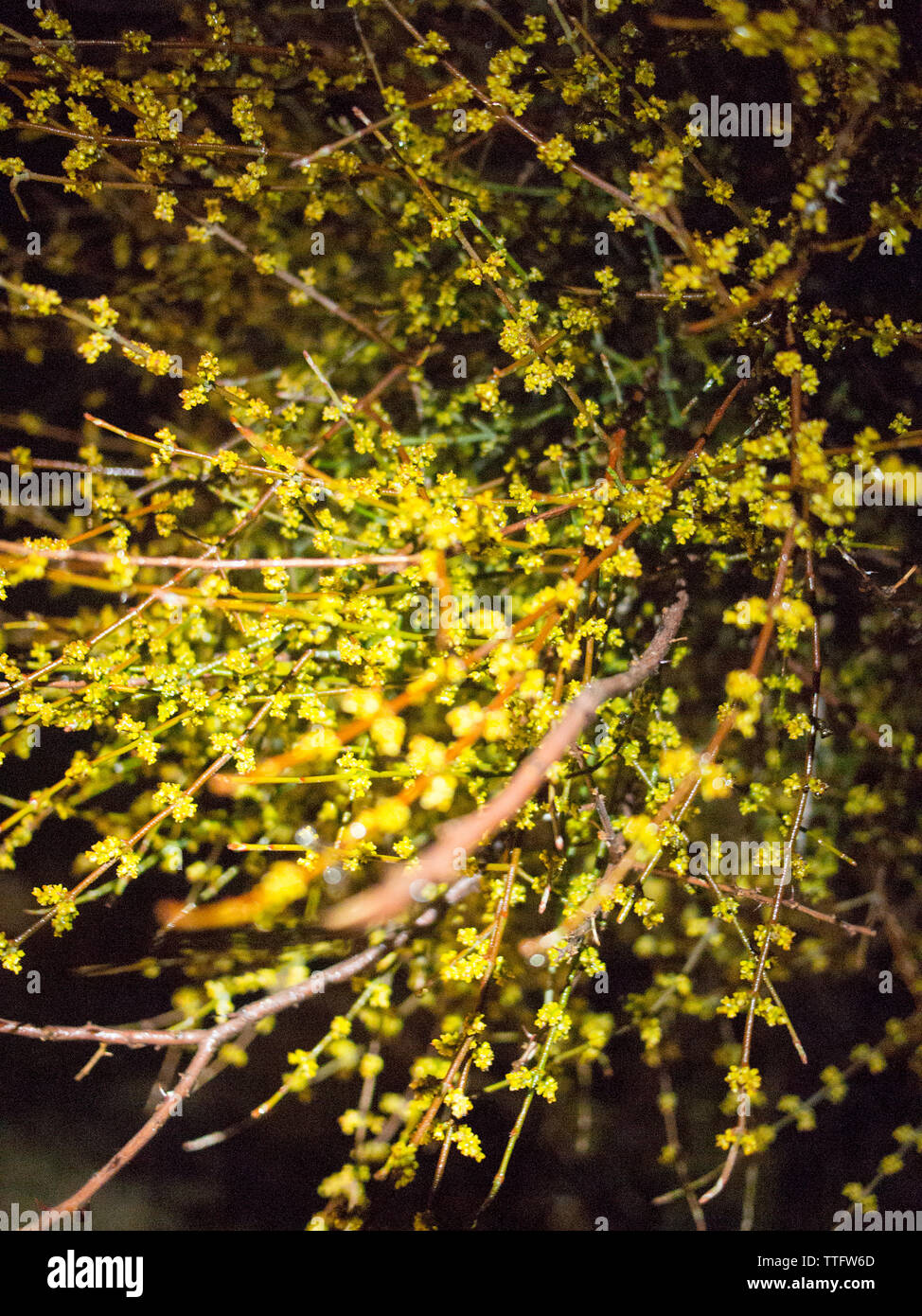 Branches and yellow flowers illuminated by a hikers headlamp. - Stock Image