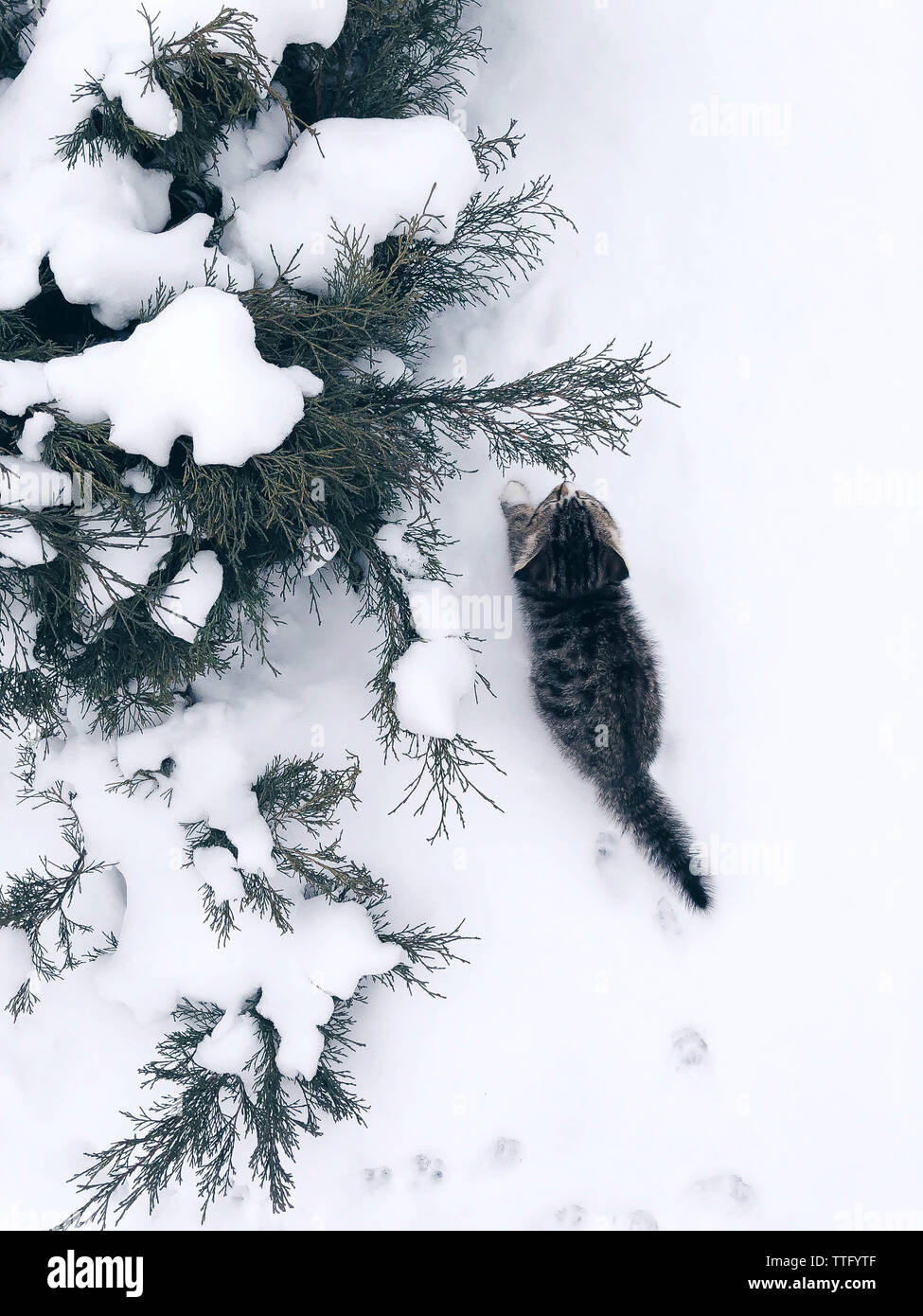 Small Cat kitten outside in snow by evergreen bush - Stock Image