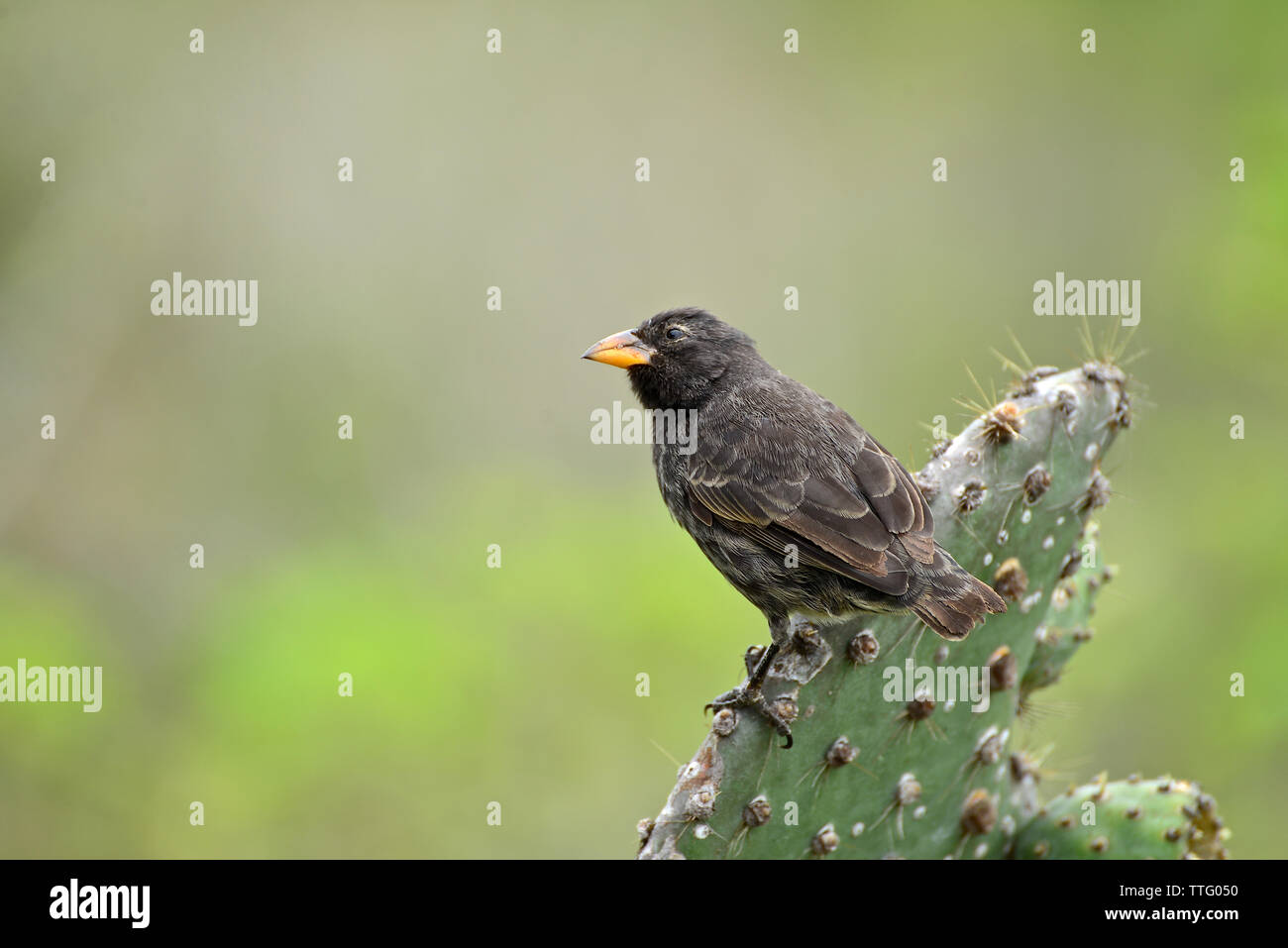 Medium ground finch ( Geospiza fortis) perched on a cactus. Galapagos National Park - Stock Image