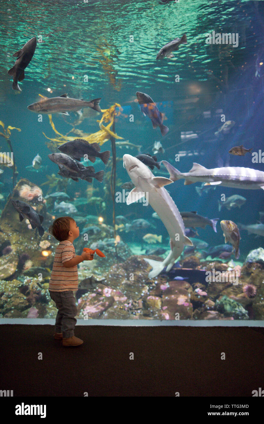 Caucasian boy looking into aquarium tank watching swimming fish - Stock Image