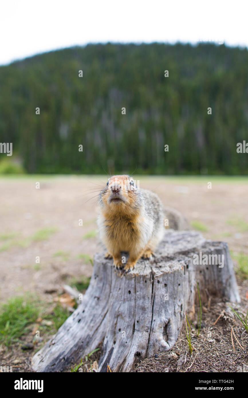 Columbian Ground Squirrel (Urocitellus Columbianus) Stock Photo