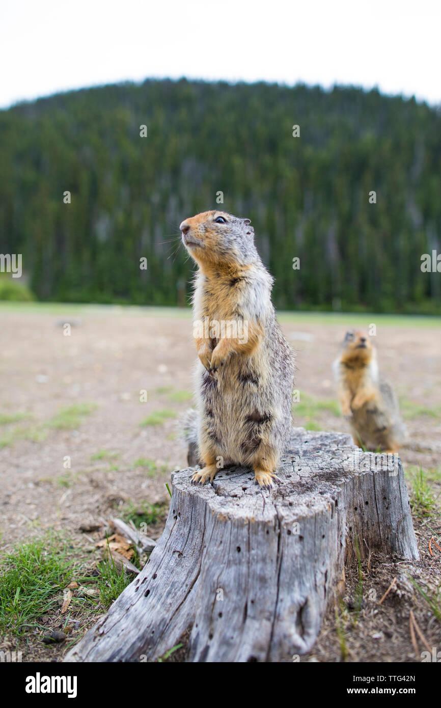 Columbian Ground Squirrel (Urocitellus Columbianus) standing  on stump - Stock Image