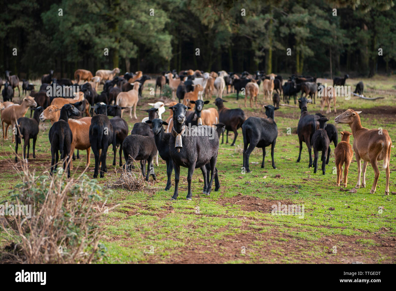 A herd of goats grazing on grassland against coniferous forest - Stock Image