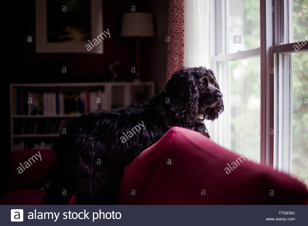 Black poodle looking through window while standing at home - Stock Image