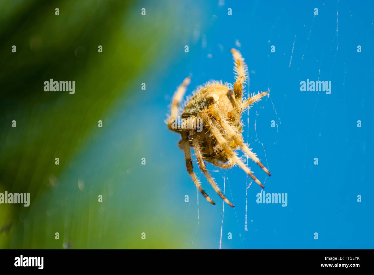 Araneus angulatus Spider on web - Stock Image