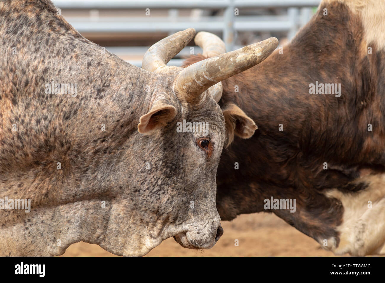 Two bulls with heads together at western rodeo - Stock Image