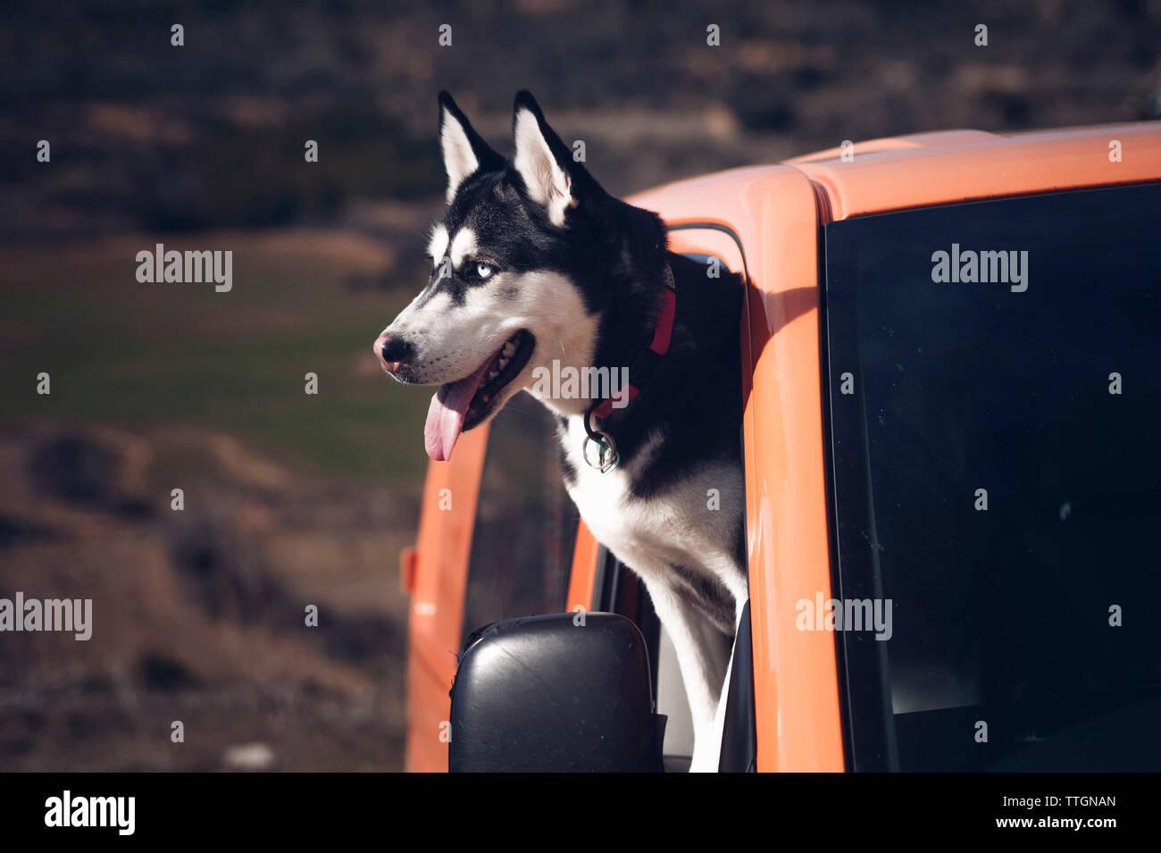 Siberian Husky dog pokes its head out of a car window. - Stock Image