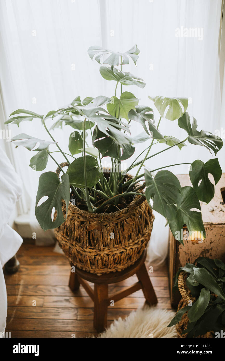 Monstera plant in a basket - Stock Image