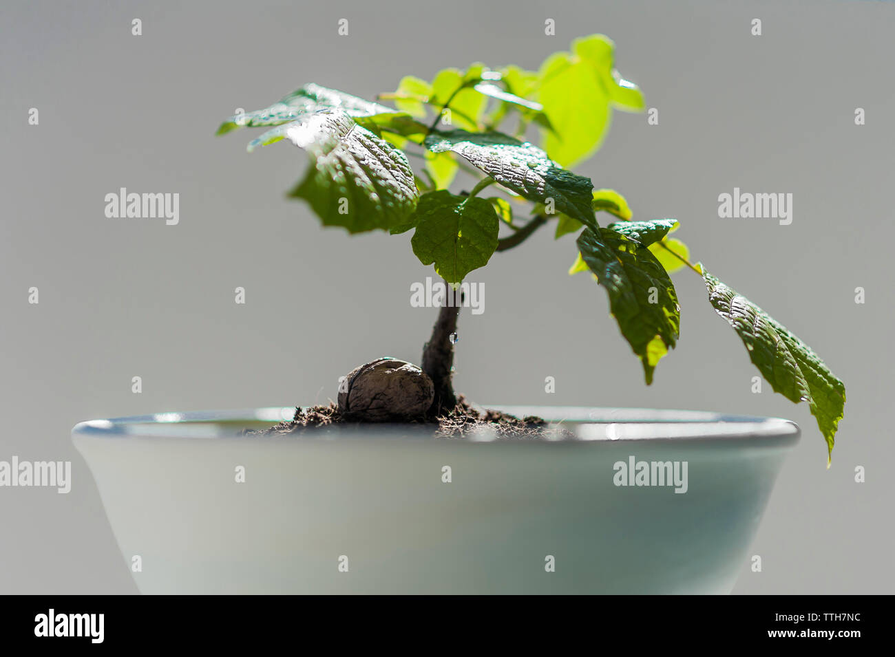 Small Baby Walnut Tree In Bonsai Pot Stock Photo Alamy