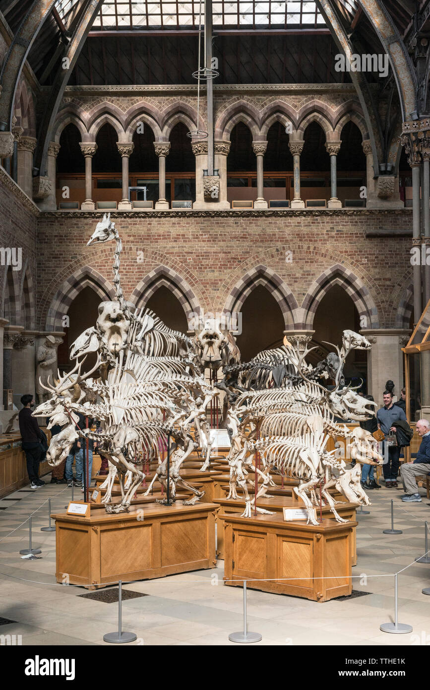 Mammal skeletons on display in the Oxford University Museum of Natural History, founded in 1860. - Stock Image